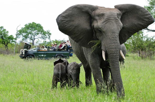 Adorable sighting of an elephant mother and calves on a game drive.