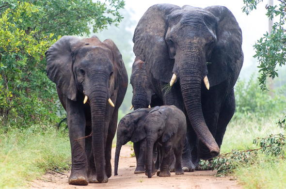 Elephant family roaming through Sabi Sands Private Game Reserve.