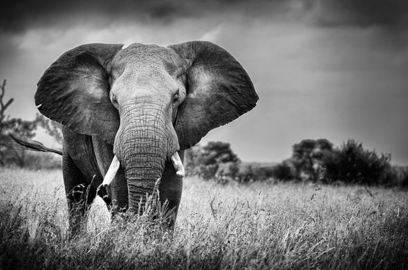 Black and white elephant in Sabi Sabi Game Reserve.
