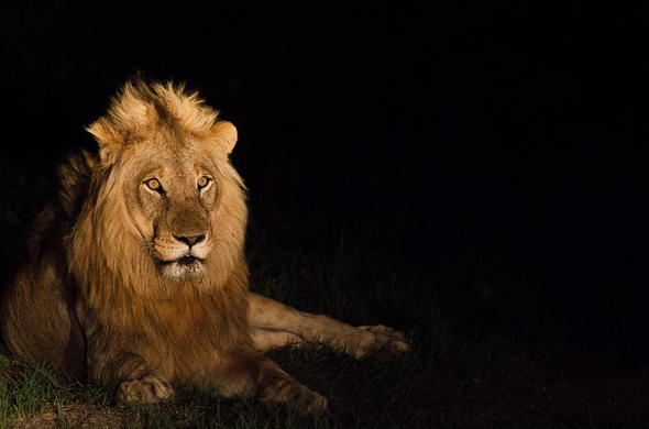See lion on a night safari in Sabi Sabi Game Reserve.