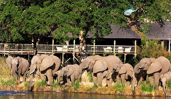 Elephants congregate outside Sabi Sabi Bush Lodge.